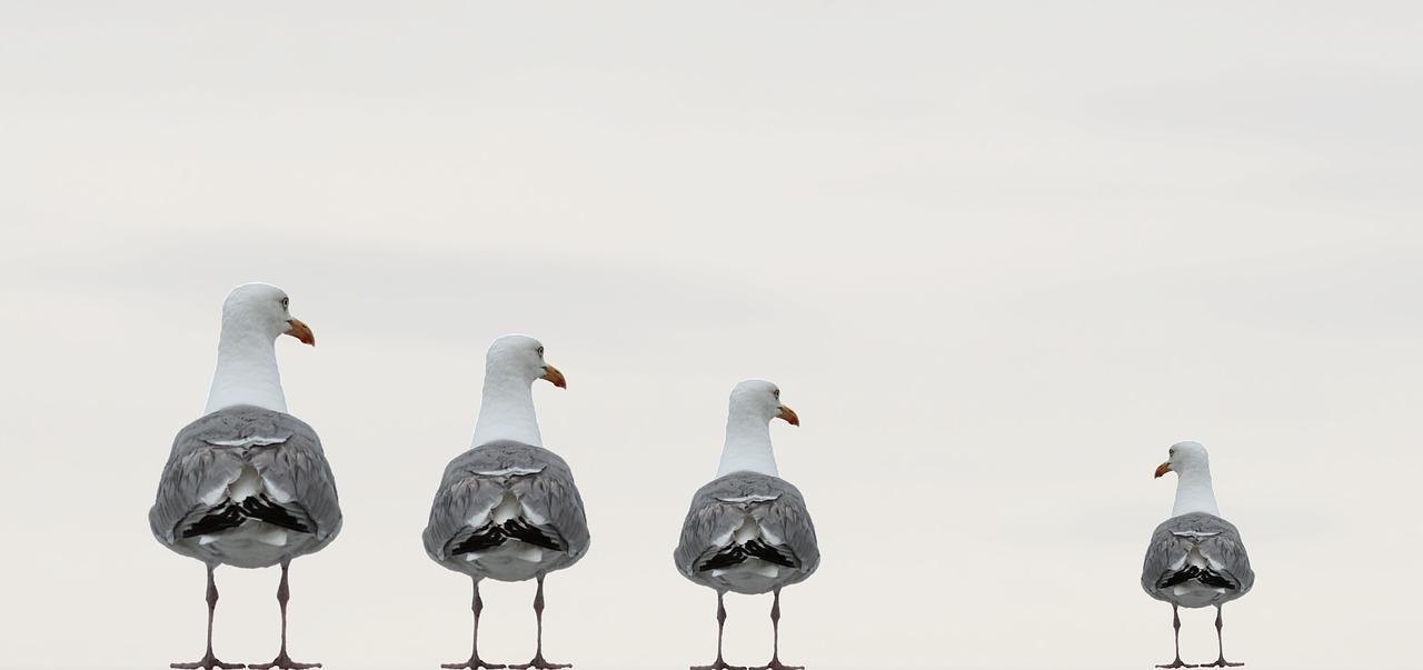 gulls-2662550_1280