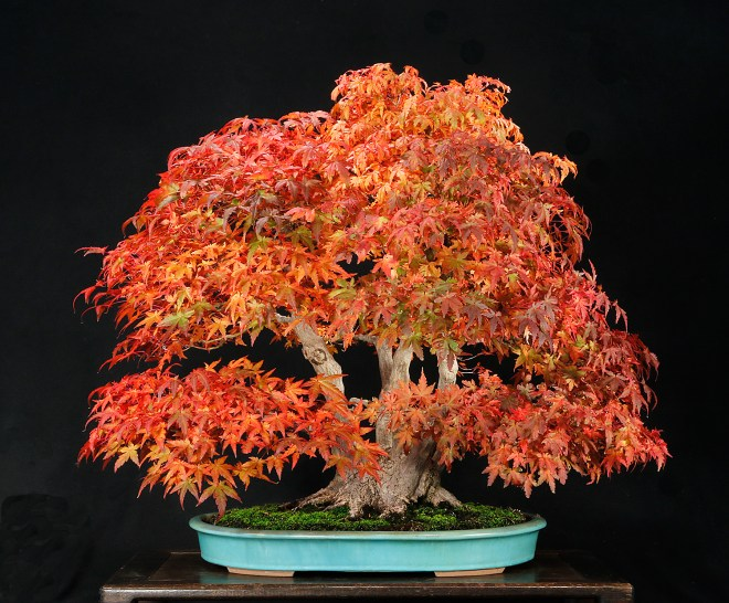 maple-clump