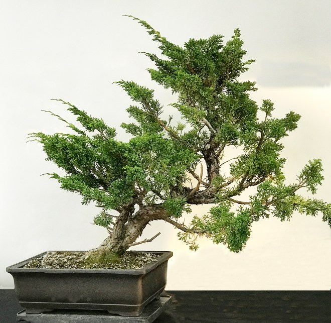 BEBB DEMO SARGENT JUNIPER