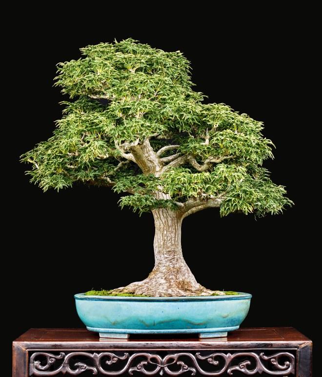 Refining A Japanese Maple Bonsai By Transplanting Valavanis Bonsai Blog