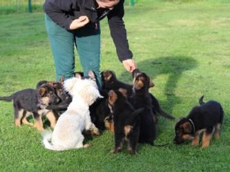 Socialisation/familiarisation aux autres chiens