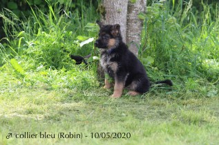Robin (collier bleu)