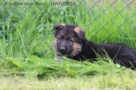 Rex (collier noir)