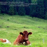Träge Kühe