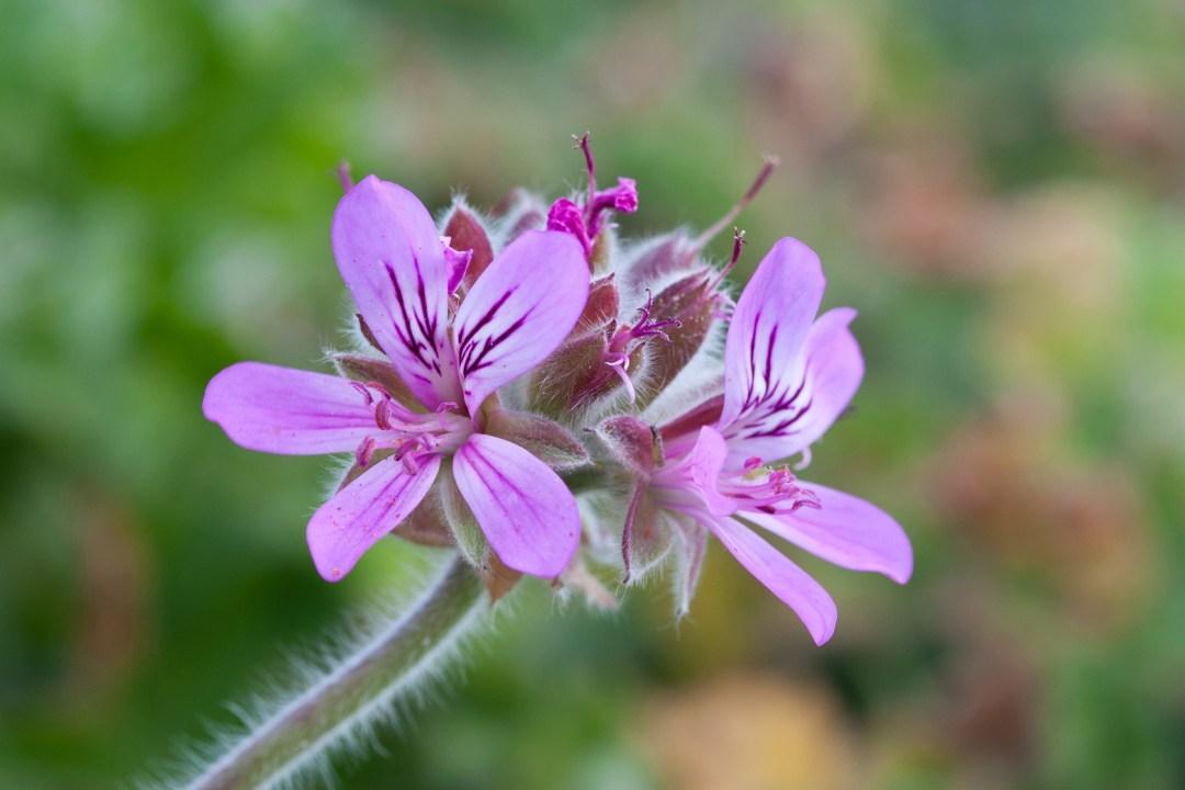 Pelargonium_capitatum,_two_blooms_detail