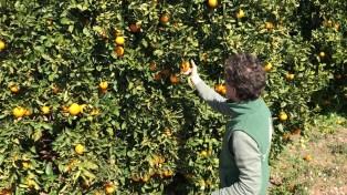 Gonzalo recolectando naranjas