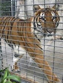 En la actualidad no existe ninguna legislación europea referida a la protección de los animales de circo.