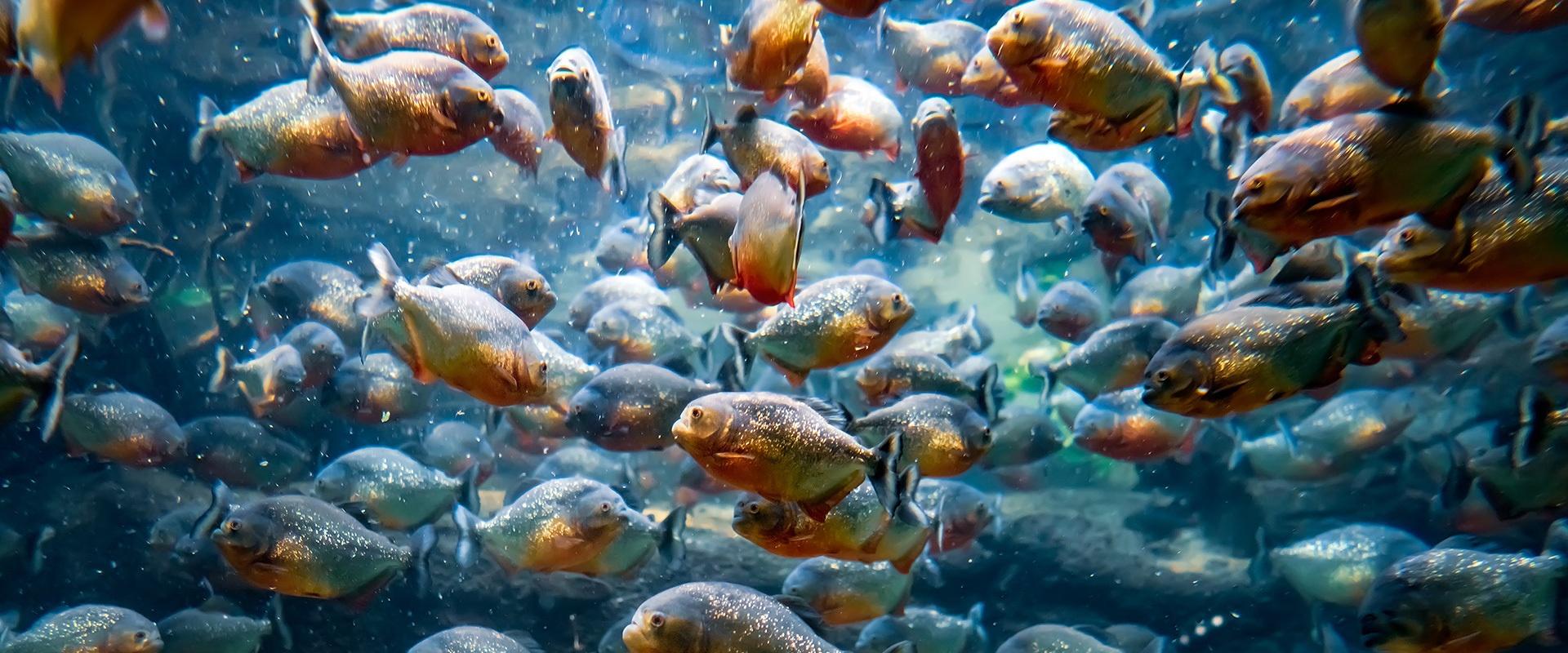 Piranhas criaram fama e se deitaram na cama!