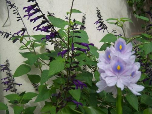 Salvia, Eichornia