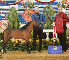 justified-an-miniature-horse-stallion national champion Valhalla Farm