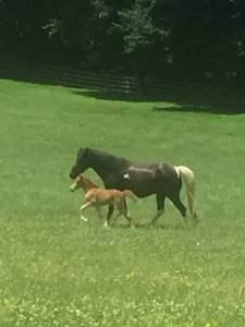 Drama filly champion mini horse Valhalla Farm