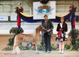 admiral mini horse stallion champion vahalla farm 2018