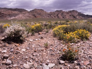 wildflowers in death valley - val in real life