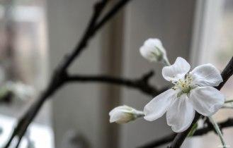 Omenapuut kukkivat jo. Ikkunalaudallani.
