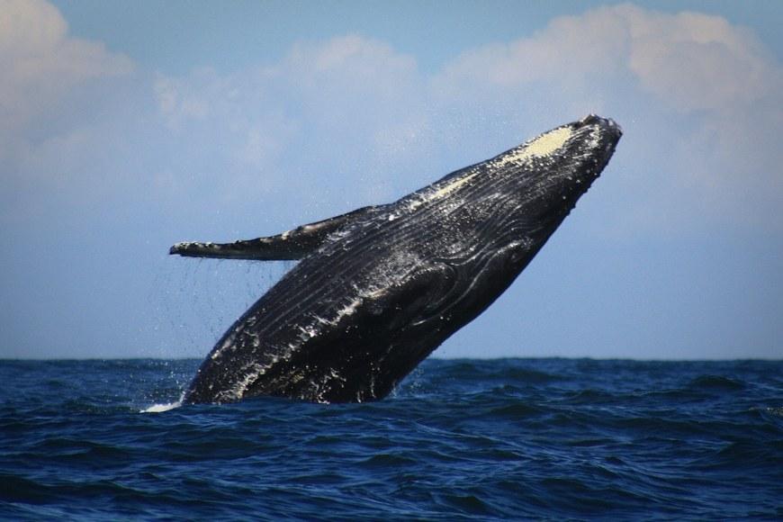 Gray Whale in islas marietas