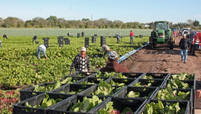 Farm workers pick and pack winter vegetables during the harvest season.