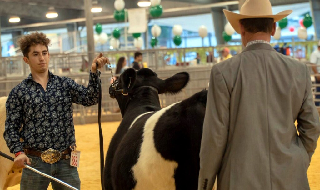 A judge looks over a cattle display entry at the RGV Livestock Show. (Courtesy RGV LIvestock Show)