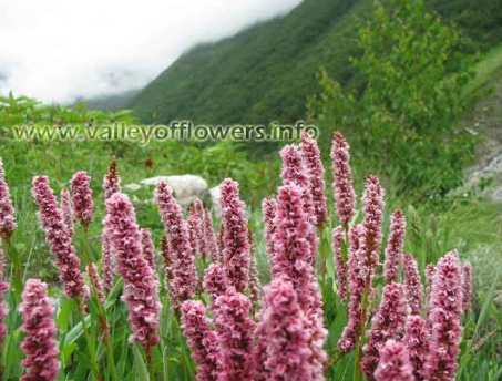 Valley of flowers, Bistorta Affinis