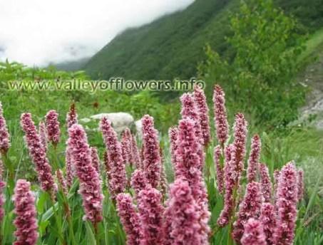 Valley of flowers, Bistorta Affinis