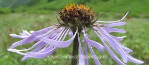 Aster Diplostephioides