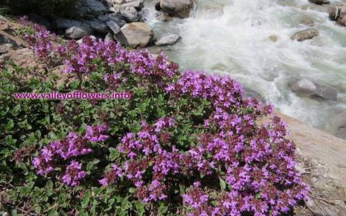 Thymus Linearis on the bank of River Pushpawati between Govindghat and Ghangaria this picture was clicked in May 2013.