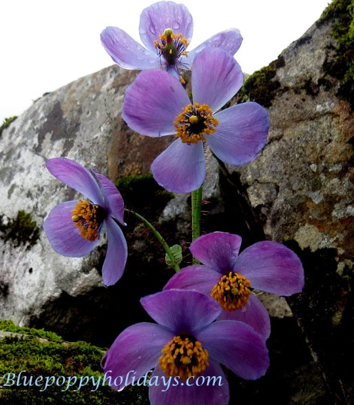 Another Color of Blue Poppy while coming back from Hemkund Sahib