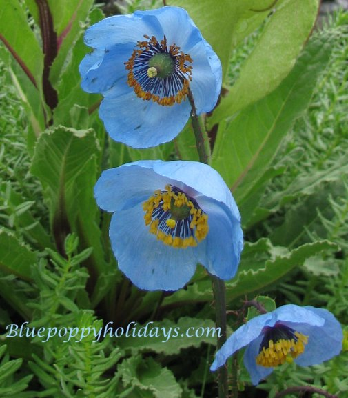 Blue Poppy with Braham Kamal flower near Hemkund Sahib