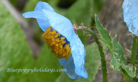 Close up look of Blue Poppy after few showers