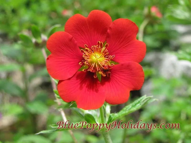 Vajardanti in valley of flowers (10)