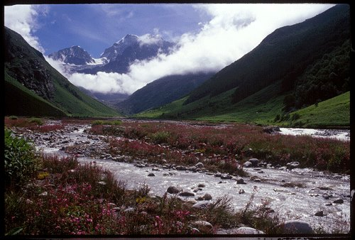 Valley of flowers in July, See the Epilobium Latifolium
