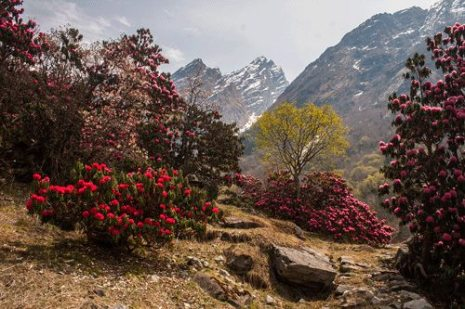 Rhododendron flowers near Bhyuandar Village, Hathi peak can be seen in background
