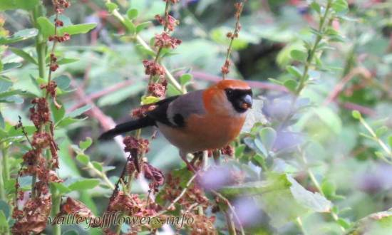 Red-headed Bullfinch (Pyrrhula erythrocephala)