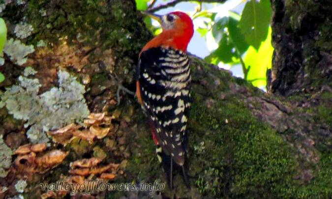 Rufous bellied Woodpecker (Dendrocopos hyperythrus)