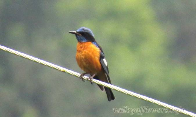 Chestnut Bellied Rockthrush (Male)