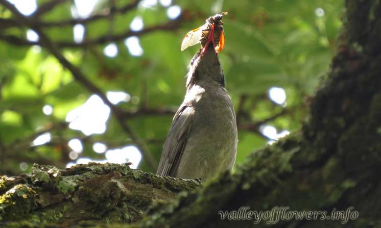 Himalayan Black or Square tailed Black Bulbul (Hypsipetes [leucocephalus or ganeesa])