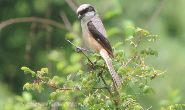 Grey backed Shrike (Lanius tephronotus)