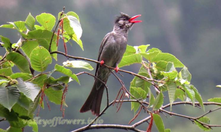Himalayan Black or Square tailed Black Bulbul (Hypsipetes [leucocephalus or ganeesa])