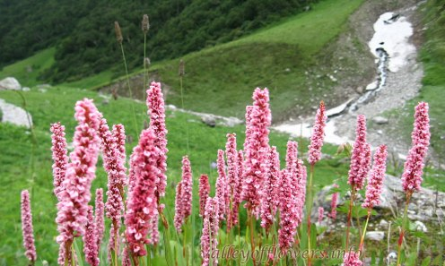 Bistora Affinis in Valley of Flowers
