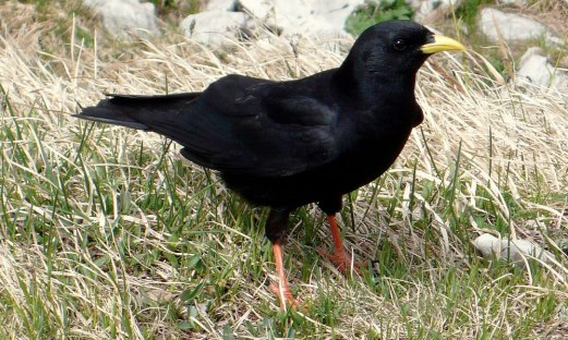 Yellow billed Chough (Pyrrhocorax graculus)