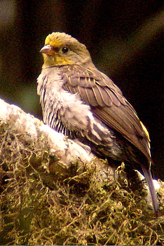 Yellow-rumped Honeyguide (Indicator xanthonotus) - Near Threatened