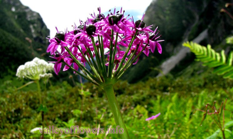 Allium Wallichi