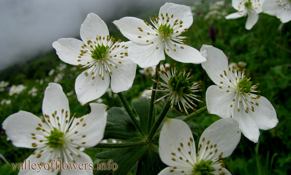 Anemone tetrasepala in Valley of Flowers