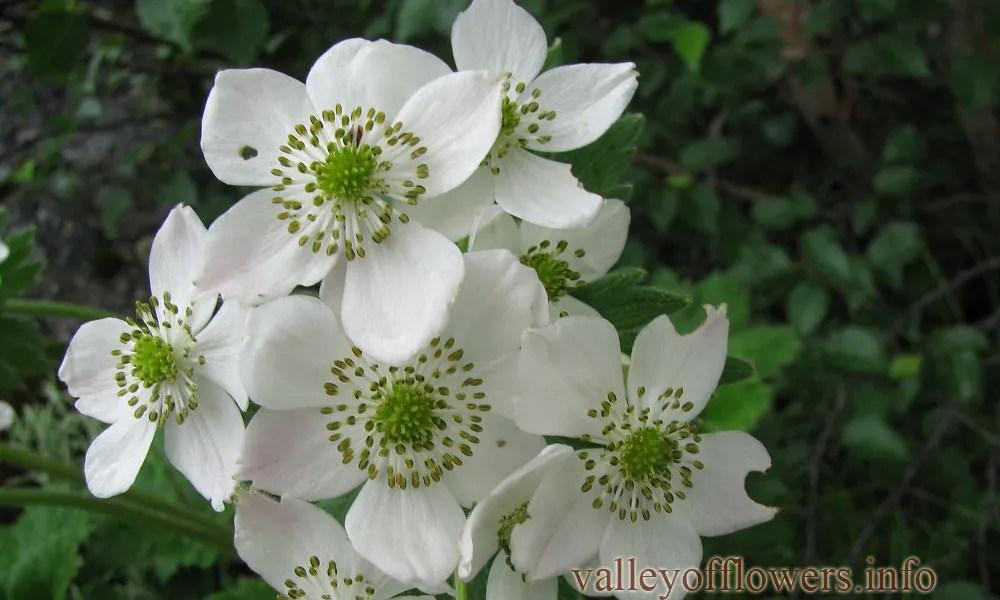 Anemone tetrasepala