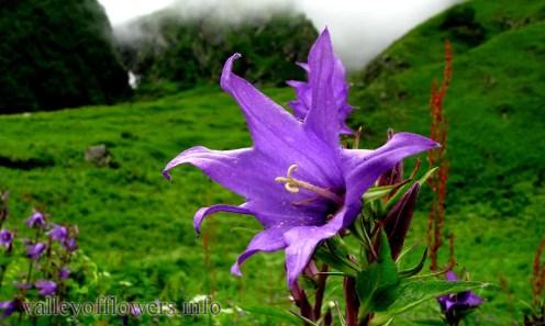 Campanula Latifolia in Valley of Flowers