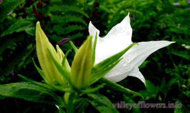 Clicked in the year 2012. We have seen and clicked this rare white Campanula Latifolia in Valley of flowers it may be a result of gene mutation.