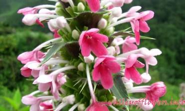 Morina longifolia