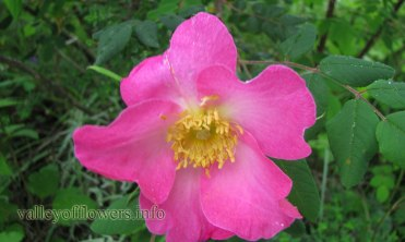 Wild Rose in Valley of Flowers