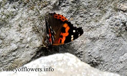 Beautiful Butterflies in valley of flowers