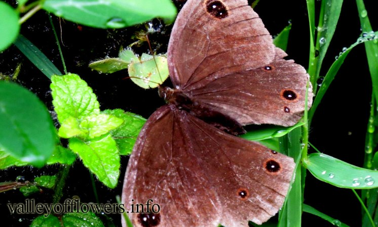 Beautiful-Butterfly-found-near-Valley-of-Flowers-28