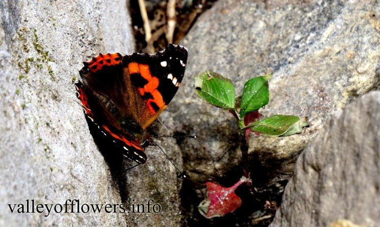 Beautiful Butterflies in valley of flowers